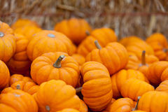 Pumpkin patch. Pile of small cute pumpkins at pumpkin patch