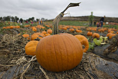 Pumpkin Patch Pumpkins Royalty Free Stock Image