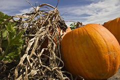 Pumpkin Patch Pumpkins Stock Image