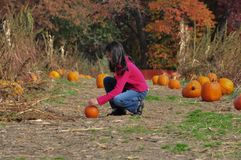 Pumpkin Patch. Pumpkins all around, only like to pick the small one. It was nice breeze Fall afternoon royalty free stock images