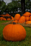 Pumpkin Patch. Pumpkins of all sizes and shapes Royalty Free Stock Photos