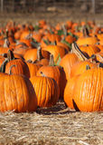 Pumpkin Patch. Pumpkins close up, in sunny field Royalty Free Stock Photography