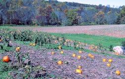 Pumpkin Patch Royalty Free Stock Photo