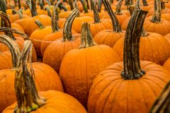 Pumpkin patch pumpkins for sale stock image
