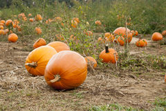 Pumpkin Patch. Pumpkins sit on the ground ready for harvest in a pumpkin patch stock images