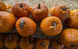 Pumpkin patch ready for Fall Season royalty free stock image