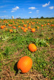 Pumpkin patch. Ripe pumpkins at a farm in Central Kentucky in fall Royalty Free Stock Photos