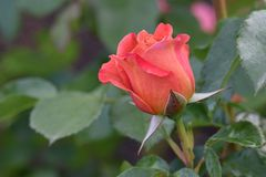 Pumpkin Patch Rosebud royalty free stock image