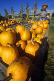 Pumpkin patch with scarecrows along Scenic Route 100, VT Stock Photo
