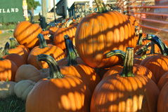 Pumpkin patch with shadows Royalty Free Stock Image