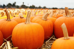 Pumpkin patch with sky background for holiday season. Stock Photography