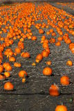 Pumpkin patch. In Southern Quebec Royalty Free Stock Photo