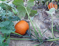 Pumpkin in a patch Royalty Free Stock Photo