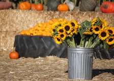 Pumpkin Patch and Sunflowers. Sunflowers close up, in sunny pumpkin patch field Royalty Free Stock Images