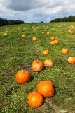 Pumpkin patch on a sunny fall day. Royalty Free Stock Photo