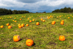 Pumpkin patch on a sunny fall day. Royalty Free Stock Images