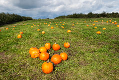 Pumpkin patch on a sunny fall day. Royalty Free Stock Photography
