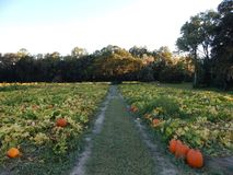 Pumpkin patch sunset Royalty Free Stock Photography