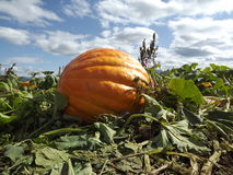 Pumpkin. In  patch at taken at ground level Royalty Free Stock Photos