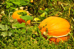 Pumpkin Patch. Two large pumpkins in the garden royalty free stock photos