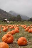 Pumpkin Patch vertical Stock Photography