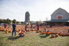 Pumpkin picking on farm Royalty Free Stock Image