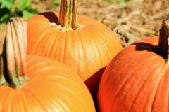 Pumpkin Picking Stock Photos