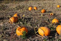Pumpkin Picking Royalty Free Stock Photos