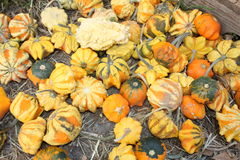 Pumpkin. A picture of a pumpkin patch royalty free stock image