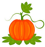 Pumpkin plant Stock Photos