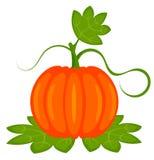 Pumpkin plant Stock Photos