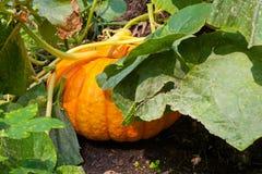 Pumpkin Plant Stock Images