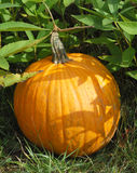 Pumpkin in plant bed. Orange pumpkin in green plant bed and grass stock photography