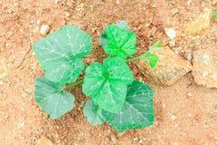 Pumpkin plant Royalty Free Stock Photo