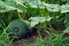 Pumpkin, plant and fruit. A green pumpkin on the ground still attached to its plant Stock Images
