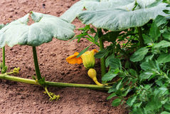 Pumpkin plant in a garden Royalty Free Stock Image