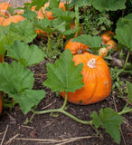 Pumpkin plant with ripe pumpkins Royalty Free Stock Photos