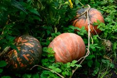 Pumpkin plant. Ripe vegetables marrow growing on bush. Harvesting time. Selective focus.  stock photography