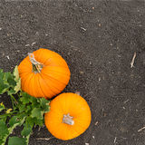 Pumpkin plant Royalty Free Stock Images