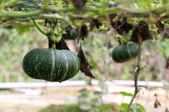Pumpkin Plants Stock Photos