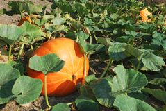 Pumpkin plants Royalty Free Stock Photo