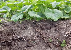 Pumpkin plants. Compost soil with pumpkin plants Royalty Free Stock Photo