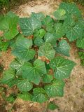 pumpkin plants royalty free stock photos