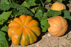 Pumpkin plants Stock Photo