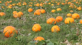 Pumpkin Plants. Stock Image