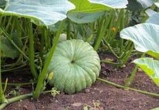 Pumpkin plants on a field. royalty free stock image
