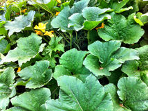 Pumpkin plants Royalty Free Stock Photo