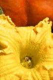 Pumpkin Pollination Stock Photos