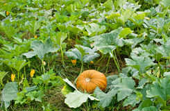 Pumpkin in Pumpkin Patch Stock Photo