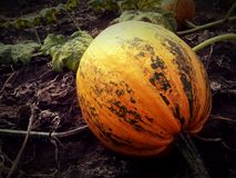 Pumpkin6 Royalty Free Stock Photos